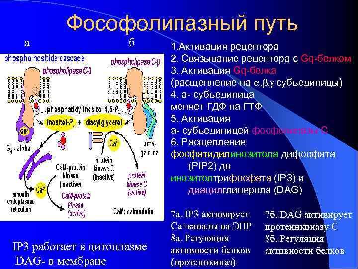 а Фософолипазный путь б IP 3 работает в цитоплазме DAG- в мембране 1. Активация