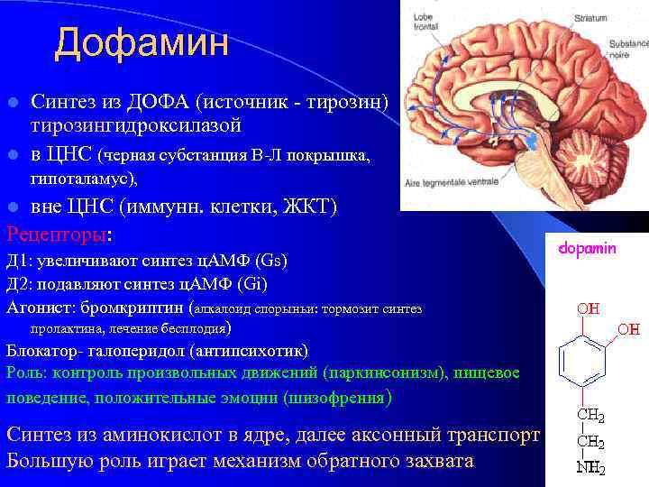 Дофамин Синтез из ДОФА (источник - тирозин) тирозингидроксилазой l в ЦНС (черная субстанция В-Л