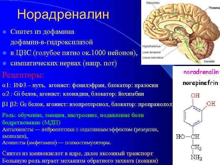 Норадреналин Синтез из дофамина дофамин-в-гидроксилазой l в ЦНС (голубое пятно ок. 1000 нейонов), l