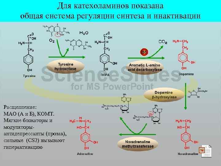 Для катехоламинов показана общая система регуляции синтеза и инактивации Расщепление: МАО (А и Б),