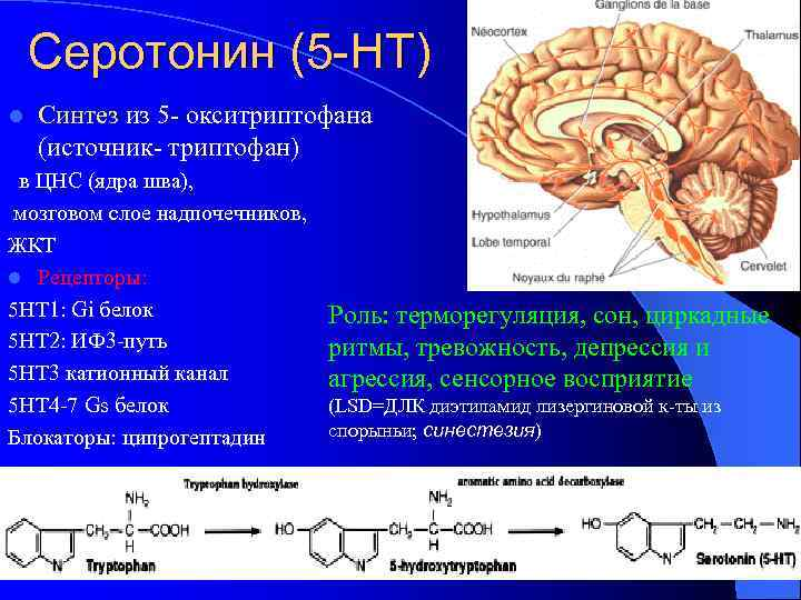 Серотонин (5 -НТ) l Синтез из 5 - окситриптофана (источник- триптофан) в ЦНС (ядра