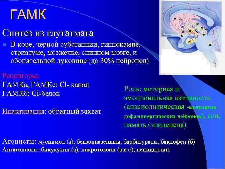 ГАМК Синтез из глутатмата l В коpе, черной субстанции, гиппокампе, стриатуме, мозжечке, спинном мозге,