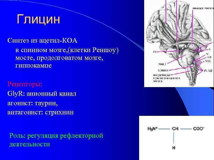 Глицин Синтез из ацетил-КОА в спинном мозге, (клетки Реншоу) мосте, продолговатом мозге, гиппокампе Рецепторы: