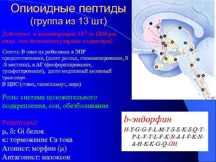 Опиоидные пептиды (группа из 13 шт) Действуют в концентрациях 10 -9 (в 1000 раз