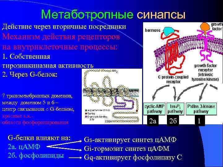 Метаботропные синапсы Действие через вторичные посредники Механизм действия рецепторов на внутриклеточные процессы: 1. Собственная