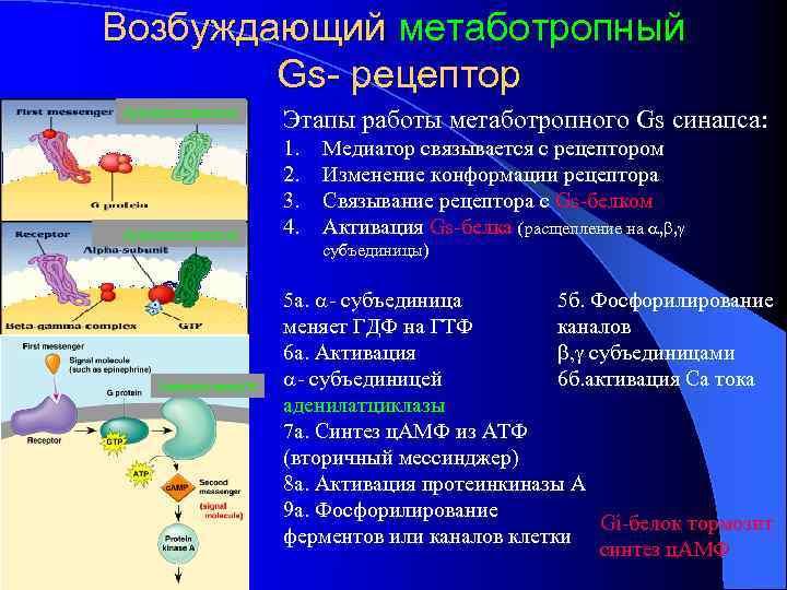 Возбуждающий метаботропный Gs- рецептор Аденилатциклаза Этапы работы метаботропного Gs синапса: 1. 2. 3. 4.