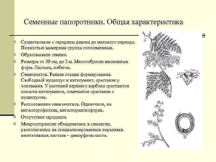 Класс семенные папоротники птеридоспермы