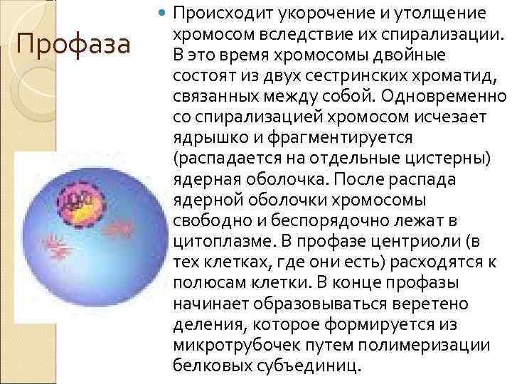 Профаза Происходит укорочение и утолщение хромосом вследствие их спирализации. В это время хромосомы