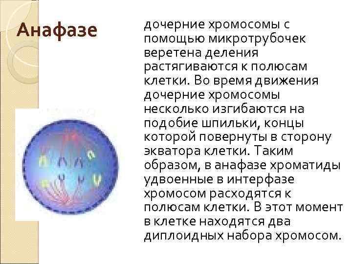 Анафазе дочерние хромосомы с помощью микротрубочек веретена деления растягиваются к полюсам клетки. Во время