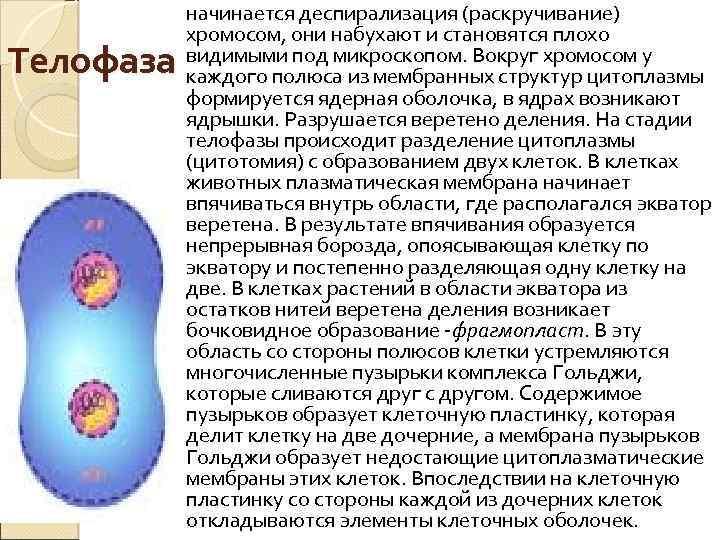Телофаза начинается деспирализация (раскручивание) хромосом, они набухают и становятся плохо видимыми под микроскопом. Вокруг