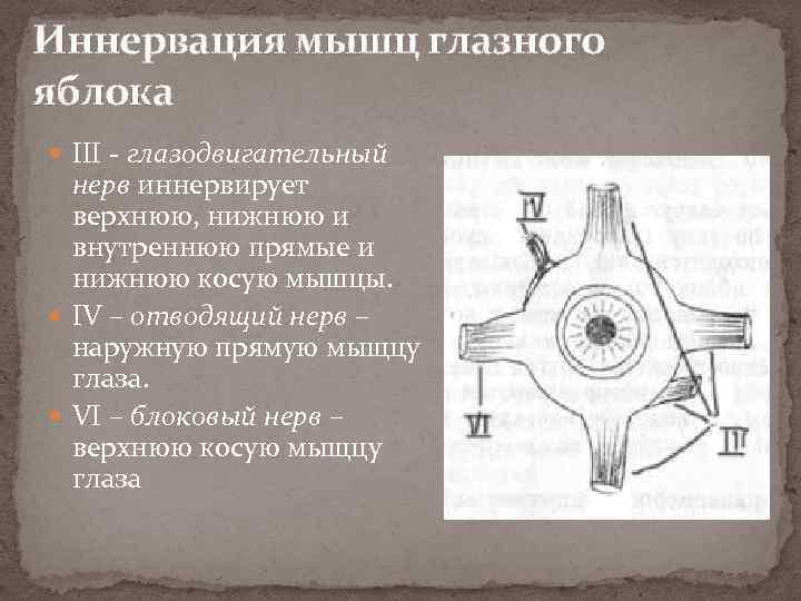Иннервация мышц глазного яблока III - глазодвигательный нерв иннервирует верхнюю, нижнюю и внутреннюю прямые