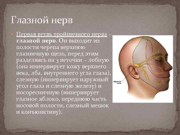 Глазной нерв Первая ветвь тройничного нерва – глазной нерв. Он выходит из полости черепа