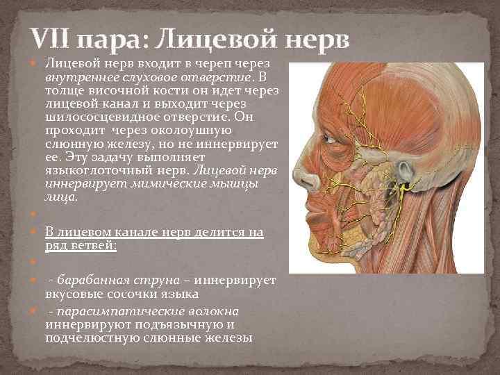 VII пара: Лицевой нерв входит в череп через внутреннее слуховое отверстие. В толще височной