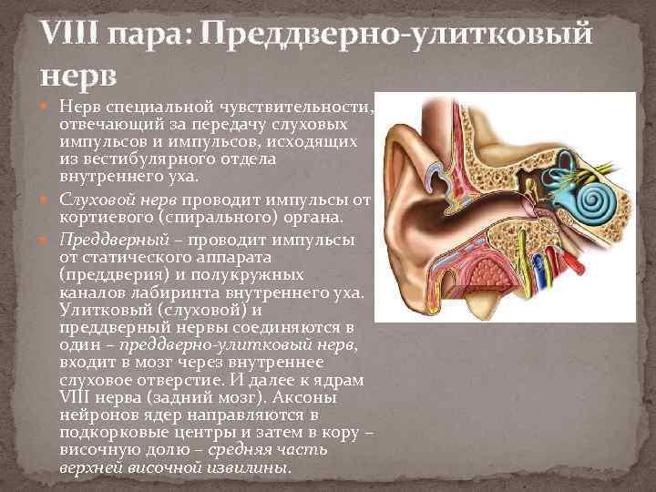 VIII пара: Преддверно-улитковый нерв Нерв специальной чувствительности, отвечающий за передачу слуховых импульсов и импульсов,