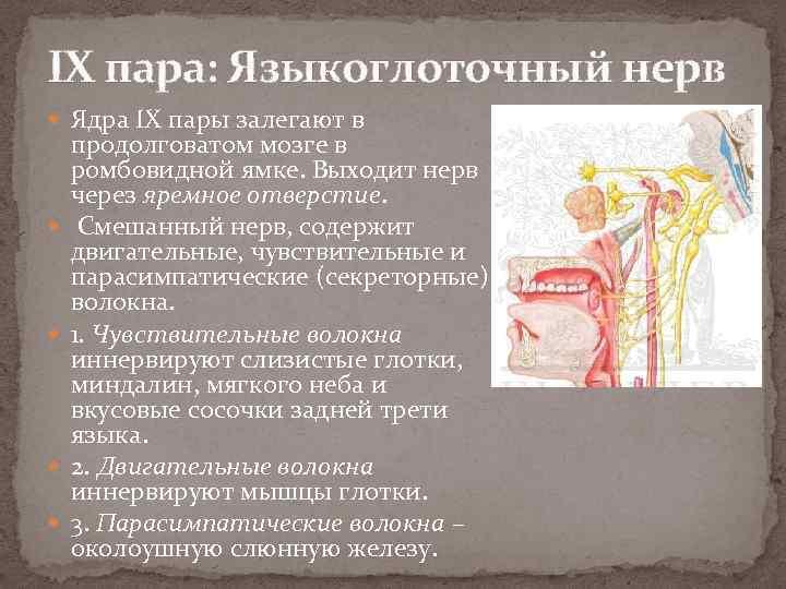 IX пара: Языкоглоточный нерв Ядра IX пары залегают в продолговатом мозге в ромбовидной ямке.