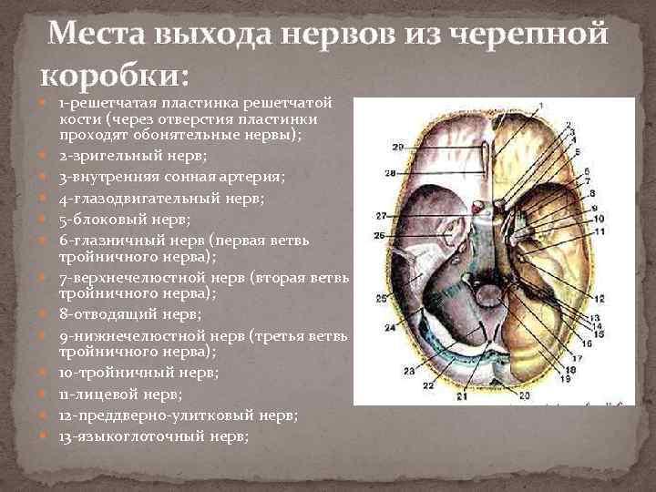 Места выхода нервов из черепной коробки: 1 -решетчатая пластинка решетчатой кости (через отверстия