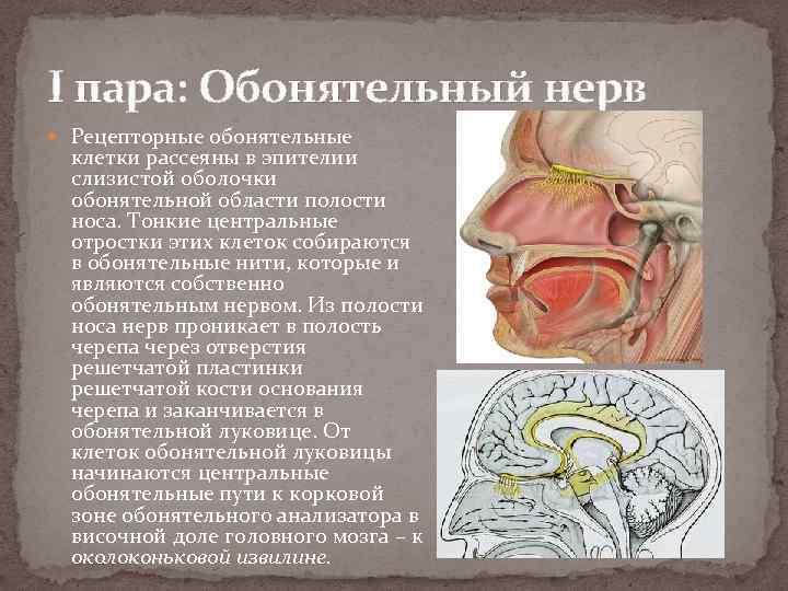 I пара: Обонятельный нерв Рецепторные обонятельные клетки рассеяны в эпителии слизистой оболочки обонятельной области