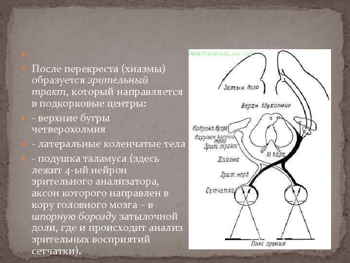 После перекреста (хиазмы) образуется зрительный тракт, который направляется в подкорковые центры: - верхние