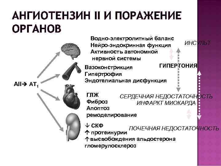 АНГИОТЕНЗИН II И ПОРАЖЕНИЕ ОРГАНОВ АII AT 1 Водно-электролитный баланс ИНСУЛЬТ Нейро-эндокринная функция Активность