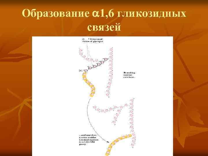 Образование 1, 6 гликозидных связей