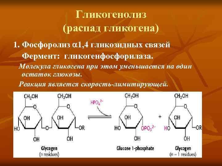 Гликогенолиз (распад гликогена) 1. Фосфоролиз 1, 4 гликозидных связей Фермент: гликогенфосфорилаза. Молекула гликогена при