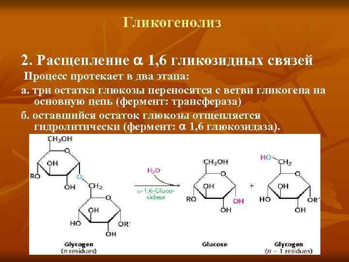Гликогенолиз 2. Расщепление 1, 6 гликозидных связей Процесс протекает в два этапа: а. три