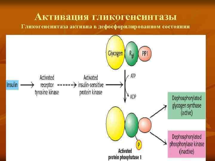 Активация гликогенсинтазы Гликогенсинтаза активна в дефосфорилированном состоянии