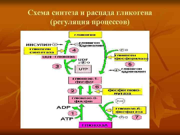 Схема синтеза и распада гликогена (регуляция процессов)