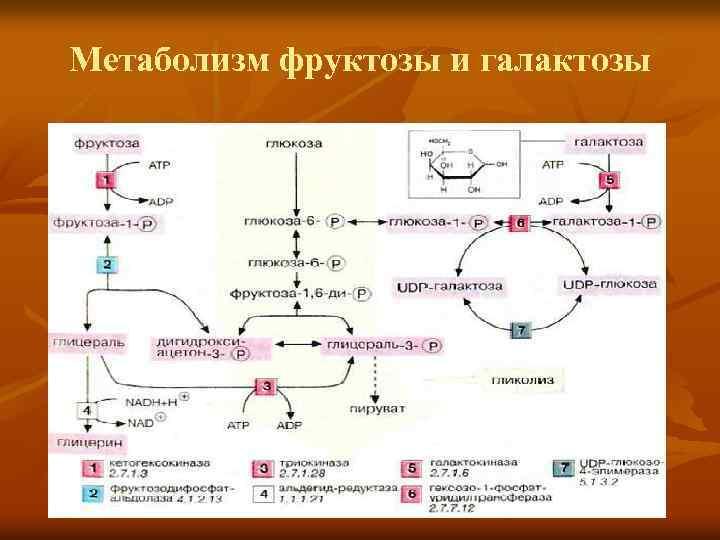 Метаболизм фруктозы и галактозы