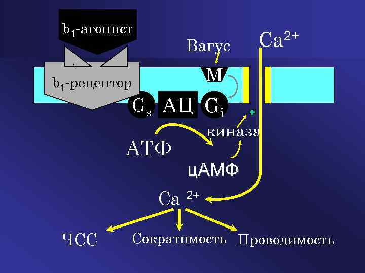 Блокаторы медленных кальциевых каналов и их место в ...