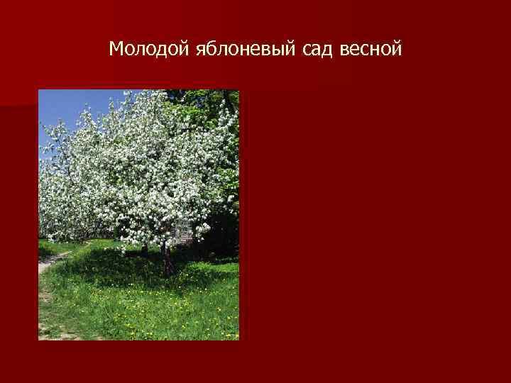 Молодой яблоневый сад весной