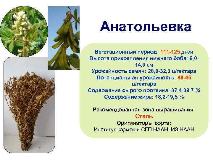 Анатольевка Вегетационный период: 111 -125 дней Высота прикрепления нижнего боба: 8, 014, 0 см