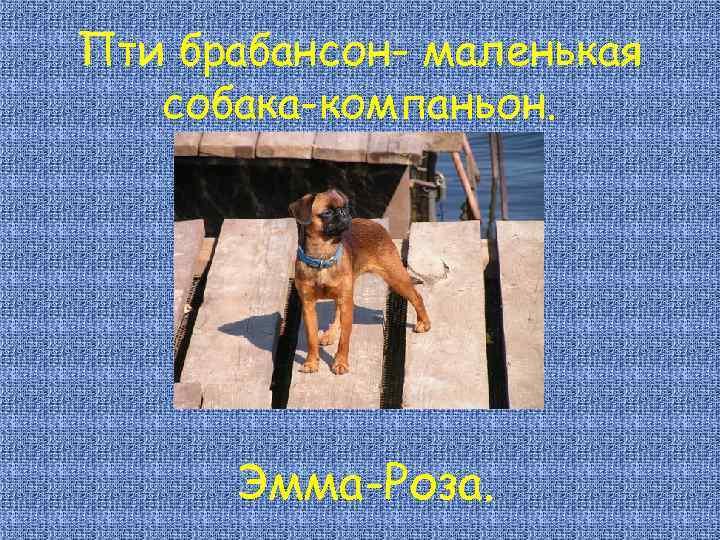 Пти брабансон- маленькая собака-компаньон. Эмма-Роза.