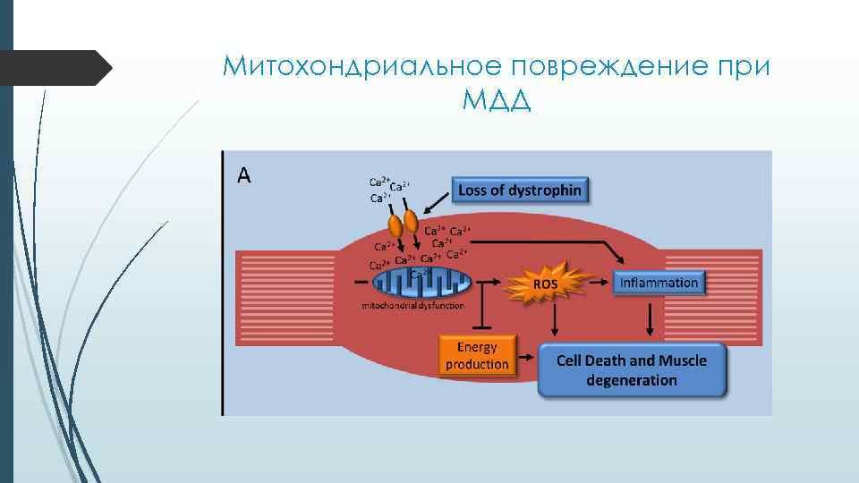 Митохондриальное повреждение при МДД