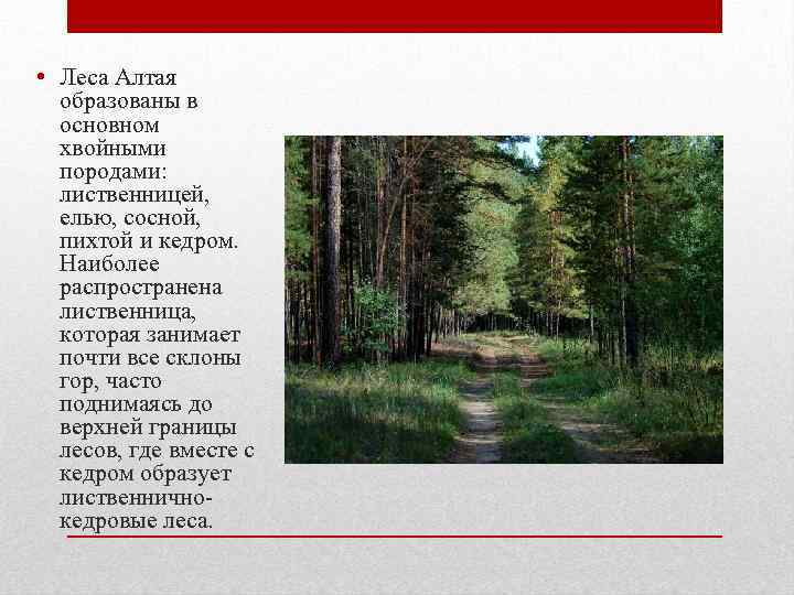 • Леса Алтая образованы в основном хвойными породами: лиственницей, елью, сосной, пихтой и