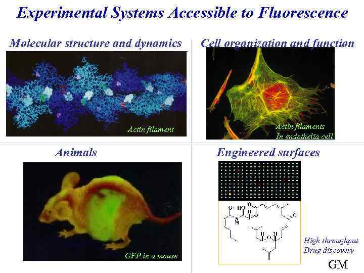 Experimental Systems Accessible to Fluorescence Molecular structure and dynamics Actin filament Animals Cell organization