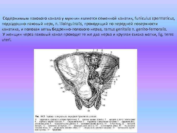 Содержимым пахового канала у мужчин является семенной канатик, funiculus spermaticus, подвздошно-паховый нерв, n.