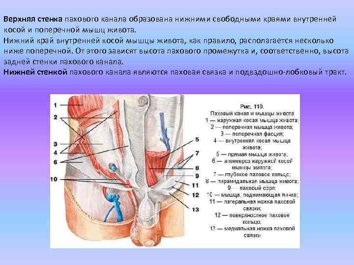 Верхняя стенка пахового канала образована нижними свободными краями внутренней косой и поперечной мышц живота.