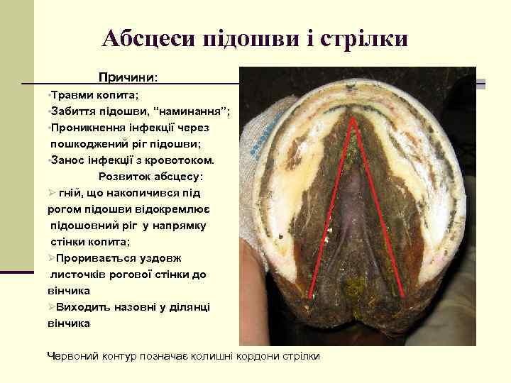 """Абсцеси підошви і стрілки Причини: • Травми копита; • Забиття підошви, """"наминання""""; • Проникнення"""
