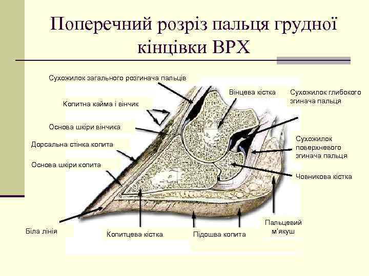 Поперечний розріз пальця грудної кінцівки ВРХ Сухожилок загального розгинача пальців Вінцева кістка Копитна кайма