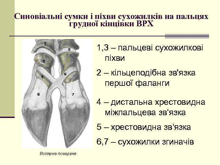 Синовіальні сумки і піхви сухожилків на пальцях грудної кінцівки ВРХ 1, 3 – пальцеві
