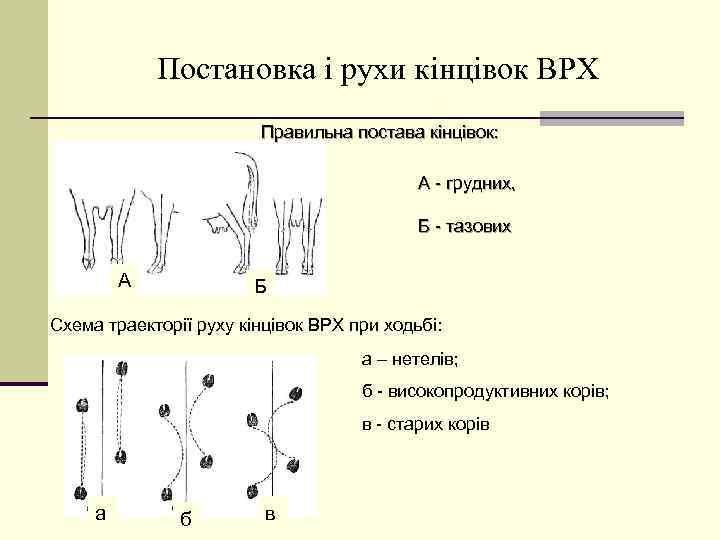 Постановка і рухи кінцівок ВРХ Правильна постава кінцівок: А - грудних, Б - тазових