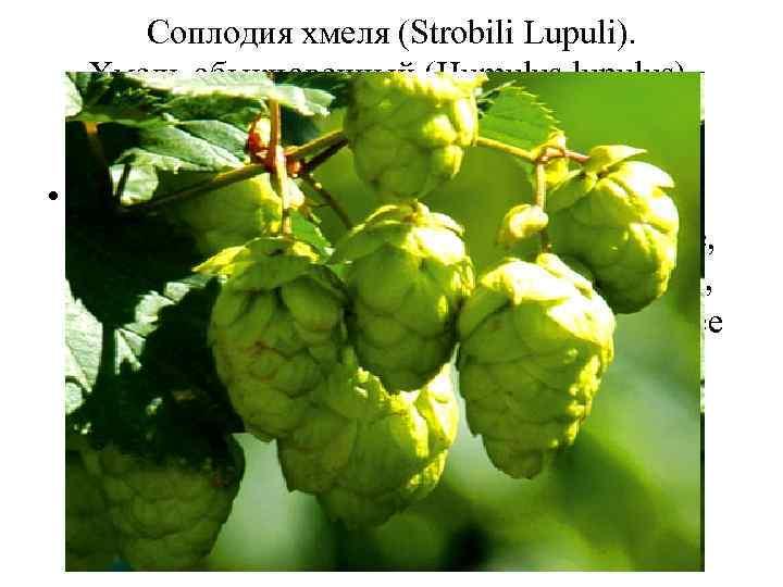 Соплодия хмеля (Strobili Lupuli). Хмель обыкновенный (Humulus lupulus). Коноплевые (Cannabaceae). • Шишки хмеля оказывают