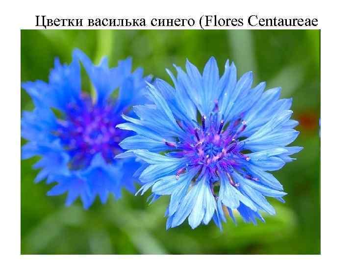 Цветки василька синего (Flores Сentaureae cyani). Василек синий (Centaurea cyanus). Астровые (Asteraceae). Цветки василька