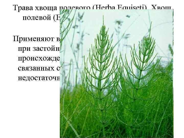 Трава хвоща полевого (Herba Equiseti). Хвощ полевой (Equisetum arvense). Хвощевые (Equisetaceae). Применяют в качестве