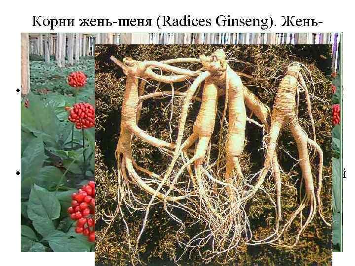 Корни жень-шеня (Radices Ginseng). Женьшень (Panax Ginseng). Аралиевые (Araliaceaea). • Свойства женьшеня объясняются его