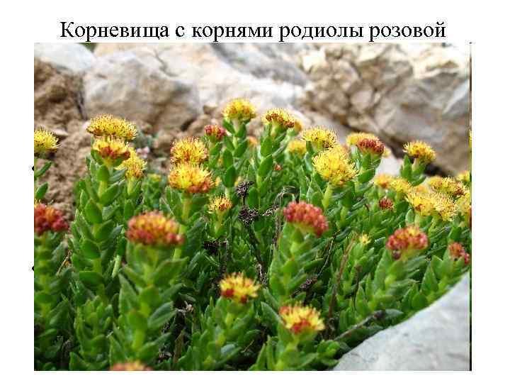 Корневища с корнями родиолы розовой (Rhizomata cum radicibus Rhodiolae roseae). Родиола розовая (Rhodiola rosea).