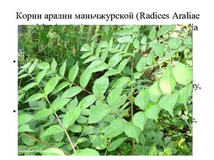 Корни аралии маньчжурской (Radices Araliae mandshuricae). Аралия маньчжурская (Aralia mandshurica). Аралиевые (Araliaceae). • Корни