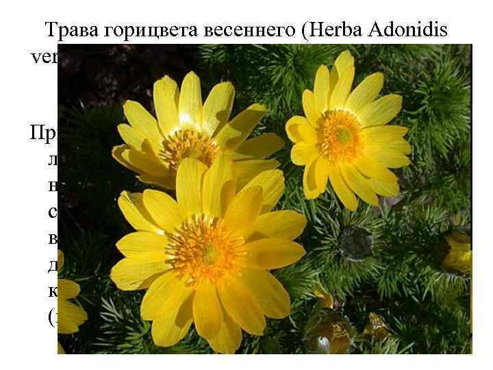 Трава горицвета весеннего (Herba Adonidis vernalis). Горицвет весенний (Adonis vernalis). Лютиковые (Ranunculaceae). Применяют в