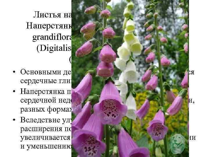 Листья наперстянки (Folia Digitalis). Наперстянка крупноцветковая (Digitalis grandiflora), наперстянка пурпуровая (Digitalis purpurea). Норичниковые (Scrophulariaceae).
